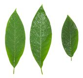 Drei nass Blätter des Avocadogrüns lokalisiert über Weiß lizenzfreies stockfoto