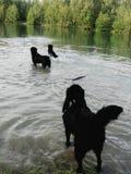 Drei nasse Hunde, die im Wasser spielen Stockbild