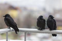 Drei nasse Krähen, die auf Balkonschiene sitzen Stockbild