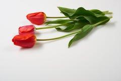 Drei natürliche Tulpenblumen auf weißem Hintergrund - Liebes- und Feiertagskonzept Lizenzfreies Stockfoto