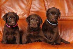 Drei nette braune Welpen lizenzfreies stockfoto