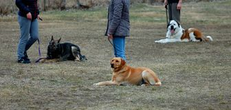 Drei nette Hunde, die aus den Grund, lernend in der Hundschule legen lizenzfreie stockbilder