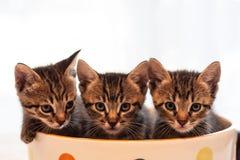 Drei nette Kätzchen der getigerten Katze in der riesigen Polka punktierten Becher oder Schale Stockfoto