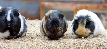 Drei nette Meerschweinchen Lizenzfreie Stockfotografie