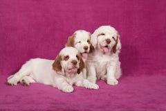 Drei nette pupies, die auf rosa Hintergrund aufwerfen Lizenzfreies Stockfoto
