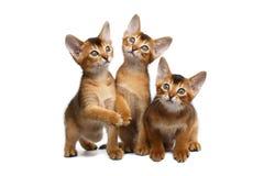 Drei netter Abyssinier Kitten Sitting auf lokalisiertem weißem Hintergrund Lizenzfreies Stockfoto