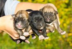Drei neugeborene Welpen in den Händen stockbilder