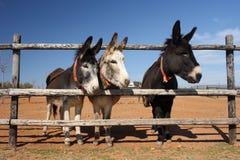 Drei neugierige Esel stockfoto