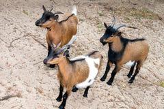 Drei neugierige Ziegen lizenzfreie stockfotos