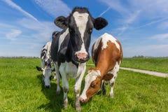 Drei niederländische Kühe im Ackerland nahe Groningen Stockbild