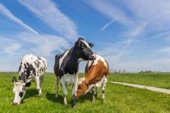 Drei niederländische Kühe im Ackerland nahe Groningen Stockfotografie