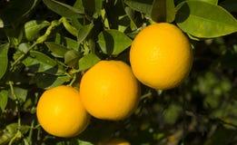 Drei Orangen lizenzfreie stockbilder