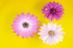 Drei Osteospermum Gänseblümchen- oder Kap-Gänseblümchenblumen Stockbild