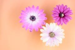 Drei Osteospermum Gänseblümchen- oder Kap-Gänseblümchenblumen Stockfoto