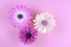 Drei Osteospermum Gänseblümchen- oder Kap-Gänseblümchenblumen Lizenzfreie Stockbilder