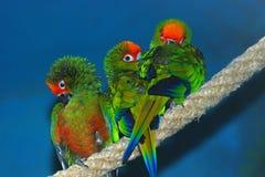 Drei Papageien Lizenzfreie Stockfotos