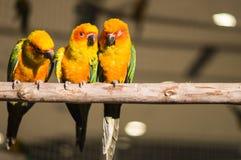 Drei Papageien Lizenzfreies Stockfoto