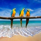 Drei Papageien (Blau-und-gelber Keilschwanzsittich (Aronstäbe ararauna) auch bekanntes a Stockbild