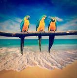 Drei Papageien Blau-und-gelbes Keilschwanzsittich-Aronstäbe ararauna Lizenzfreie Stockfotografie