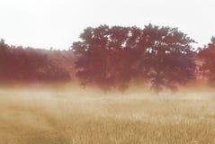 Drei Pappeln nebeln morgens auf den Gebieten nahe den Hügeln ein stockfotografie