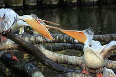 Drei Pelikane Lizenzfreie Stockbilder
