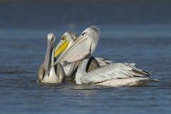 Drei Pelikane Stockfoto