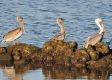 Drei Pelikane auf Felsen stockfotos