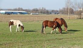 Drei Pferde stockbilder