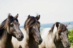 Drei Pferde Lizenzfreies Stockbild