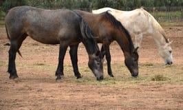 Drei Pferde in der Weide an der Weinkellerei in Guadalupe Valley Stockbilder