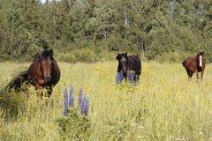 Drei Pferde in der Wiese mit Gartenlupine im Vordergrund stockbild