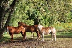 Drei Pferde, die in der sonnigen Koppel mit Hintergrund von Bäumen stehen Lizenzfreie Stockbilder