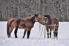 Drei Pferde, die Wintermäntel in Schnee bedeckter Koppel tragen stockfotografie