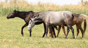 Drei Pferde in einer Weide in der Natur Lizenzfreie Stockbilder