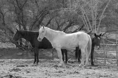 Drei Pferde in Schwarzweiss Stockbild