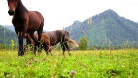 Drei Pferde werden auf einer Wiese gegen Berge weiden lassen stock footage
