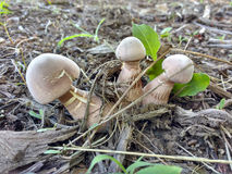 Drei Pilze Stockbild