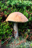 Drei Pilze in der Grasnahaufnahme am Sommer-Tag Lizenzfreie Stockbilder