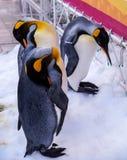 Drei Pinguine auf Schnee Lizenzfreies Stockfoto