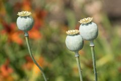Drei Poppy Seed-Köpfe lizenzfreies stockbild