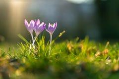 Drei purpurrote crocusses im Sonnenlicht stockfoto