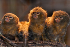 Drei Pygmee-oeistities (Callithrix pygmaea) lizenzfreie stockfotografie