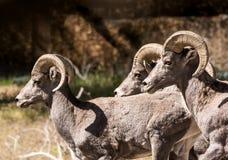 Drei RAMs in Bewegung Lizenzfreies Stockbild