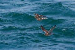 Drei Regenbrachvogel, Numenius phaeopus, im Flug Großbritannien Lizenzfreies Stockfoto