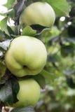 Drei reife grüne Äpfel, die an einer Niederlassung im Garten hängen Lizenzfreies Stockfoto