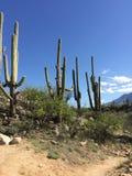 Drei riesige Saguaros mit Bergen und Himmel Stockfotos