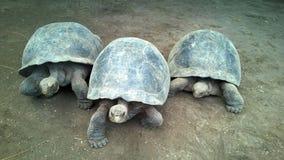 Drei riesige Schildkröten stockfotos