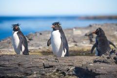 Drei Rockhopper-Pinguine in der Kolonie Stockfotos