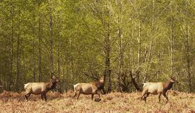 Drei Roosevelt Elk Stockbild