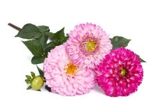 Drei rosa Dahlien mit den Knospen lokalisiert auf Weiß Stockfotografie